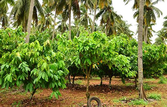 良質なココナッツが育つ条件