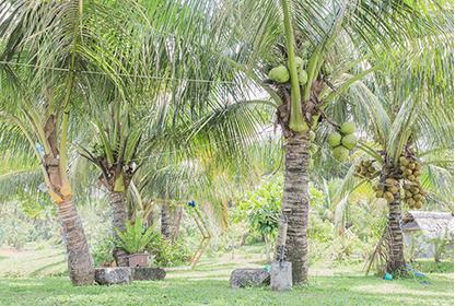 ココナッツの品種について