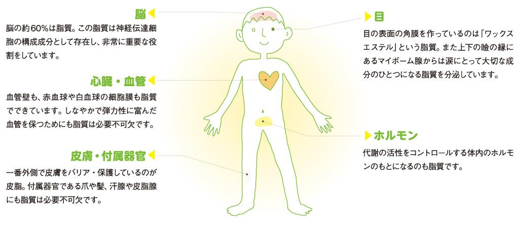 脂質が原料になっている体の部位